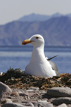 Yellow-footed Gull (Larus livens) on nest on Isla San Esteban in the Gulf of California (Sea of Cortez), Mexico. This species is enedemic to the Gulf of California.
