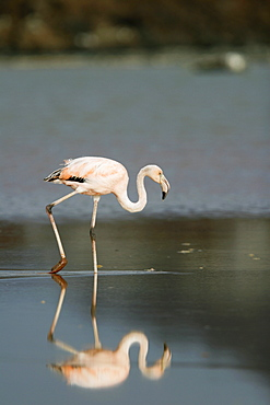 Greater Flamingo (Phoenicopterus ruber) reflected in the calm water lagoon behind Cormorant Point, on Floreana Island in the Galapagos Island Archipeligo. Pacific Ocean.
