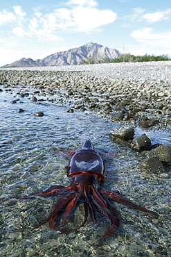 Humbolt Squid, Dosidicus gigas, stranded in shallow tidepool, Punta Sargento, Sonora, Mexico