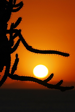 Sunrise through cholla cactus on Isla San Esteban in the Gulf of California (Sea of Cortez), Mexico.