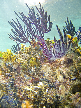Underwater scenes from the lower Gulf of California (Sea of Cortez), Baja California Sur, Mexico. Shown here is a purple gorgonian sea fan.