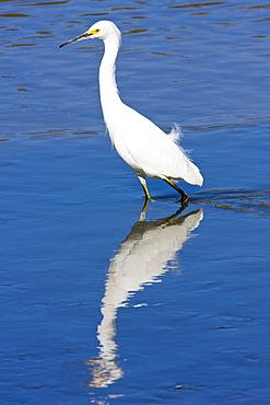 Adult snowy egret (Egretta thula) near San Jose del Cabo in the Gulf of California (Sea of Cortez), Baja California Sur, Mexico.