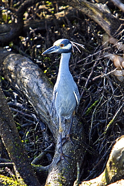 Adult yellow-crowned night-heron (Nyctanassa violacea) in the mangroves of Magdalena Bay, Baja California Sur, Mexico.