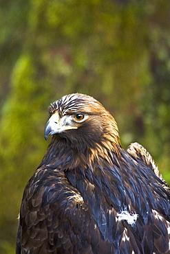 Captive adult golden eagle (Aquila chrysaetos) at the raptor rehabilitation center just outside of Sitka, Southeast Alaska, USA. Pacific Ocean.