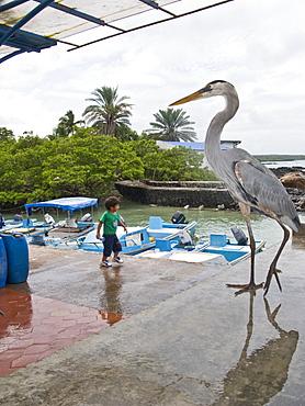 Adult great blue heron (Ardea herodias) at the fish market in Puerto Ayora on Santa Cruz Island in the Galapagos Island Archipeligo, Ecuador. Pacific Ocean.