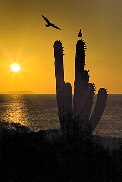 Sunrise over cardon cactus with gulls from Isla San Esteban in the midriff region of Gulf of California (Sea of Cortez), Baja California Norte, Mexico.
