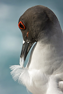Adult Swallow-tailed gull (Creagrus furcatus) on Espanola Island in the Galapagos Island Archipelago, Ecuador