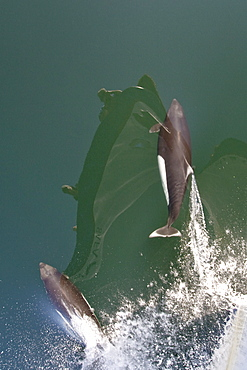 A pair of Dall's porpoise (Phocoenoides dalli) bow riding in Chatham Strait off Baranof Island in Southeast Alaska, USA