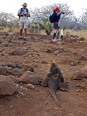 Lindblad Expeditions Guests and guide encounter a land iguana on the trail on North Seymour Island in the Galapagos Island Archipeligo, Ecuador. No model releases.