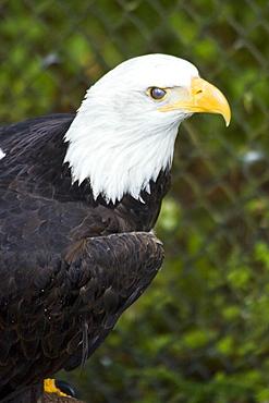 Captive adult bald eagle (Haliaeetus leucocephalus) at the raptor rehabilitation center just outside of Sitka, Southeast Alaska, USA