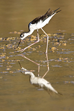 Adult black-necked stilt (Himantopus mexicanus) wading and feeding in a brackish water lagoon at Punta Cormorant on Floreana Island, Galapagos, Ecuador. Pacific Ocean.