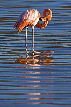 Greater flamingo (Phoenicopterus ruber) foraging for small pink shrimp (Artemia salina), Galapagos Island Archipelago, Ecuador