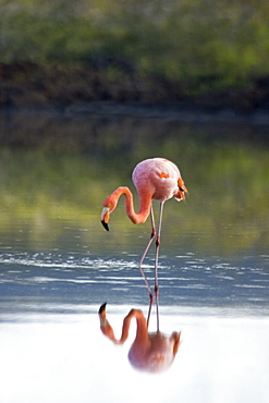 Greater flamingo (Phoenicopterus ruber) foraging for small pink shrimp (Artemia salina) in lagoon near Punta Cormorant on Floreana Island in the Galapagos Island Archipelago, Ecuador