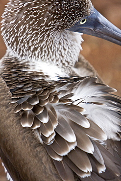 Blue-footed booby (Sula nebouxii) close-up in the Galapagos Island Group, Ecuador. The Galapagos are a nesting and breeding area for blue-footed boobies.