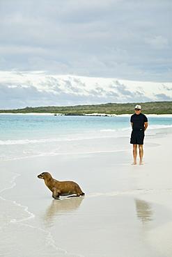 Galapagos sea lion (Zalophus wollebaeki) pup with beach comber in Gardner Bay on Espanola Island in the Galapagos Island roup, Ecuador. Pacific Ocean.