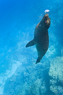 Galapagos sea lion (Zalophus wollebaeki) pup playing with its own exhalation underwater at Champion Islet near Floreana Island in the Galapagos Island Archipeligo, Ecuador. Pacific Ocean