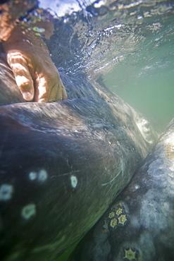 Rubbing the baleen plates of a curious California Gray Whale (Eschrichtius robustus) calf in San Ignacio Lagoon, Baja Peninsula, Baja California Sur, Mexico
