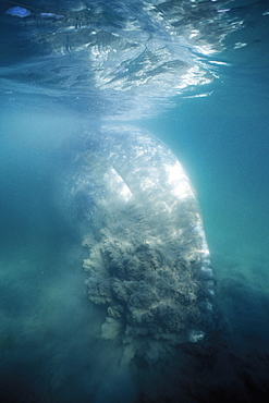 Gray Whale (Eschrichtius robustus) bottom feeding in the sand in San Ignacio Lagoon, Baja California Sur, Mexico.