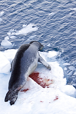 The Leopard seal (Hydrurga leptonyx) is the second largest species of seal in the Antarctic