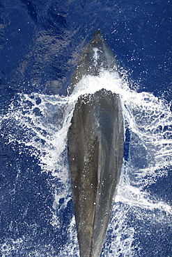 Adult bottlenose dolphin (Tursiops truncatus) bow riding the National Geographic Endeavour in the waters surrounding Ascension Island in the south Atlantic Ocean.