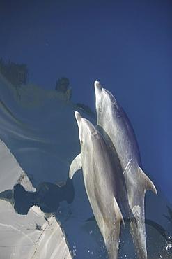 Adult bottlenose dolphin (Tursiops truncatus) bow riding in the calm waters surrounding Isla del Carmen in the Gulf of California (Sea of Cortez), Baja California Sur, Mexico