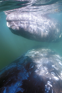 Curious California Gray Whale (Eschrichtius robustus) mother and calf approach boat in the calm waters of San Ignacio Lagoon, Baja, Mexico.