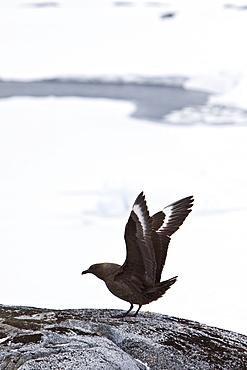 An adult Brown Skua (Catharacta antarctica)  in the Antarctic peninsula in the southern ocean