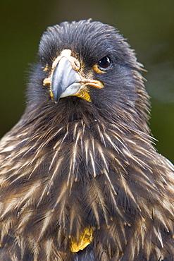 The Striated Caracara, (Phalcoboenus australis) is a bird of prey of the Falconidae family, Falkland Islands