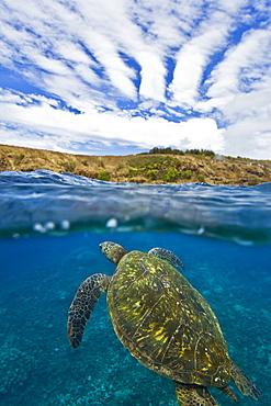 Adult green sea turtle (Chelonia mydas) in the protected marine sanctuary at Honolua Bay, Maui, Hawaii, USA - 979-5083