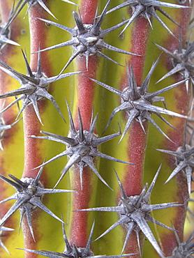 Cactus in bloom in the Sonoran Desert of Baja California, Mexico.
