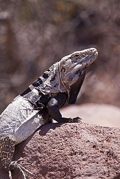 San Esteban spiny-tailed iguana (Ctenosaura conspicuosa), an endemic iguana found only on Isla San Esteban in the Gulf of California (Sea of Cortez), Mexico