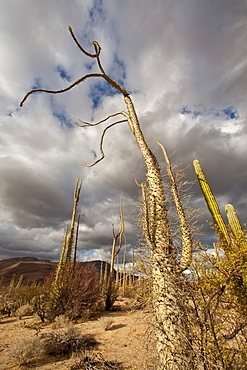A look at the strange and wonderful shapes of cactus and succulents in the Valle of the Cirrios where cactus are in bloom in the Sonoran Desert of Bahia de los Angeles, Baja California Norte, Mexico.