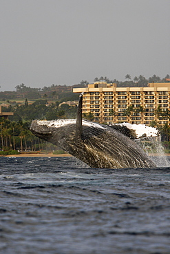 Adult humpback whale (Megaptera novaeangliae) breaching in front of the Hyatt Resort on Ka'anapali Beach in the AuAu Channel, Maui, Hawaii. Pacific Ocean.