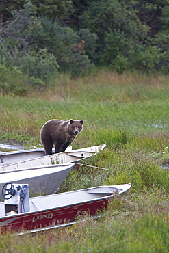 Two curious brown bear cubs (Ursus arctos), inspecting and gnawing on park ranger and service boats at the Brooks River in Katmai National Park near Bristol Bay, Alaska, USA. Pacific Ocean