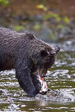 Brown Bear (Ursus arctos) fishing for pink salmon near the salmon weir at Pavlof Harbor on Chichagof Island in Southeast Alaska, USA. Pacific Ocean.