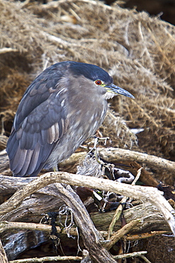 An adult Black-crowned Night Heron (Nycticorax nycticorax falklandicus) foraging at low tide on Carcass Island in the Falkland Islands, South Atlantic Ocean