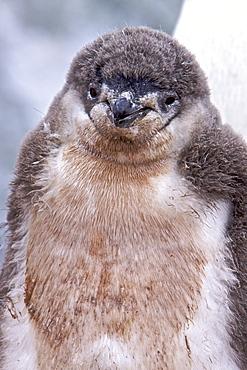 Guano-covered chinstrap penguin (Pygoscelis antarctica) chick at breeding colony on Useful Island near the Antarctic Peninsula