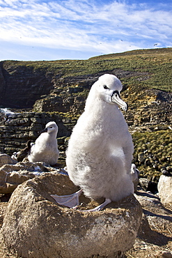 Black-browed albatross (Thalassarche melanophrys) chick on nest at breeding colony on New Island in the Falkland Islands, Southern Atlantic Ocean