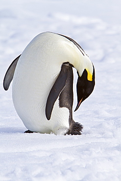 Adult emperor penguin (Aptenodytes forsteri) on sea ice near Snow Hill Island in the Weddell Sea, Antarctica.