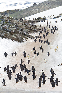 Chinstrap penguin (Pygoscelis antarctica) colony at Baily Head on Deception Island, South Shetland Island Group, Antarctica