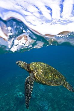 Adult green sea turtle (Chelonia mydas) in the protected marine sanctuary at Honolua Bay, Maui, Hawaii, USA - 979-7846