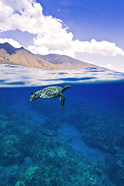 Green sea turtle (Chelonia mydas) at cleaning station at Olowalu Reef, Maui, Hawaii, USA - 979-7878