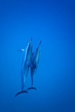 Hawaiian Spinner Dolphin pod (Stenella longirostris) underwater in Honolua Bay off the northwest coast of Maui, Hawaii, USA, Pacific Ocean