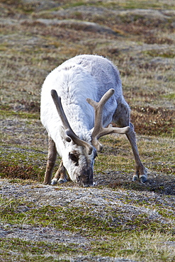 Adult Svalbard reindeer (Rangifer tarandus platyrhynchus) grazing within the town limits of Longyearbyen on Spitsbergen in the Svalbard Archipelago, Norway
