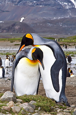 King penguin courtship behavior (Aptenodytes patagonicus) at the breeding and nesting colony at Salisbury Plains, Bay of Isles on South Georgia Island, Southern Ocean.