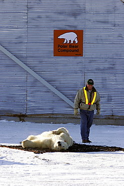"""Adult Polar Bear (Ursus maritimus) preparing to be transferred via helicopter from the """"Bear Jail"""" outside Churchill, Manitoba, Canada."""