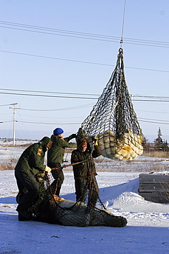 """Adult Polar Bears (Ursus maritimus) preparing to be transferred via helicopter from the """"Bear Jail"""" outside Churchill, Manitoba, Canada."""