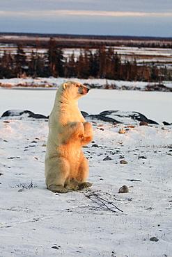 Male Polar Bear (Ursus maritimus) standing on hind legs outside Churchill, Manitoba, Canada.