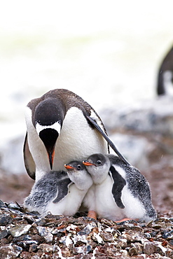 Gentoo penguin (Pygoscelis papua) adult with chicks on Cuverville Island, Antarctica, Southern Ocean