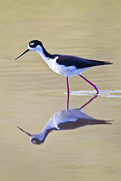 Adult black-necked stilt (Himantopus mexicanus) wading and feeding in a brackish water lagoon at Punta Cormorant on Floreana Island, Galapagos, Ecuador, Pacific Ocean.
